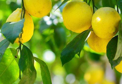 amalfi-lemons-now-avaliable